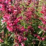 Fleur d'agastache de couleur rose
