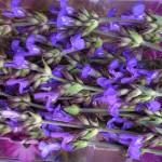 Barquette de fleurs de sauge officinale