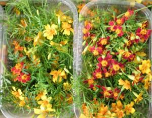 Barquettes de fleurs de tagètes