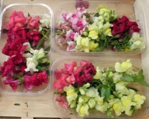 Barquettes de fleurs de muflier