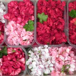 Fleurs de pélarfonium