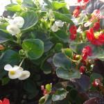 Fleurs de bégonias de couleur blanche et rouge
