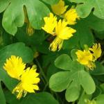 fleurs de capucine des Canaries de couleur jaune
