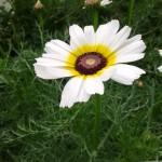 Fleur de chrysanthème de couleur blanche et jaune
