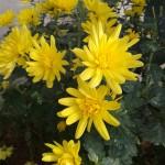 Fleurs jaunes de chrysanthème