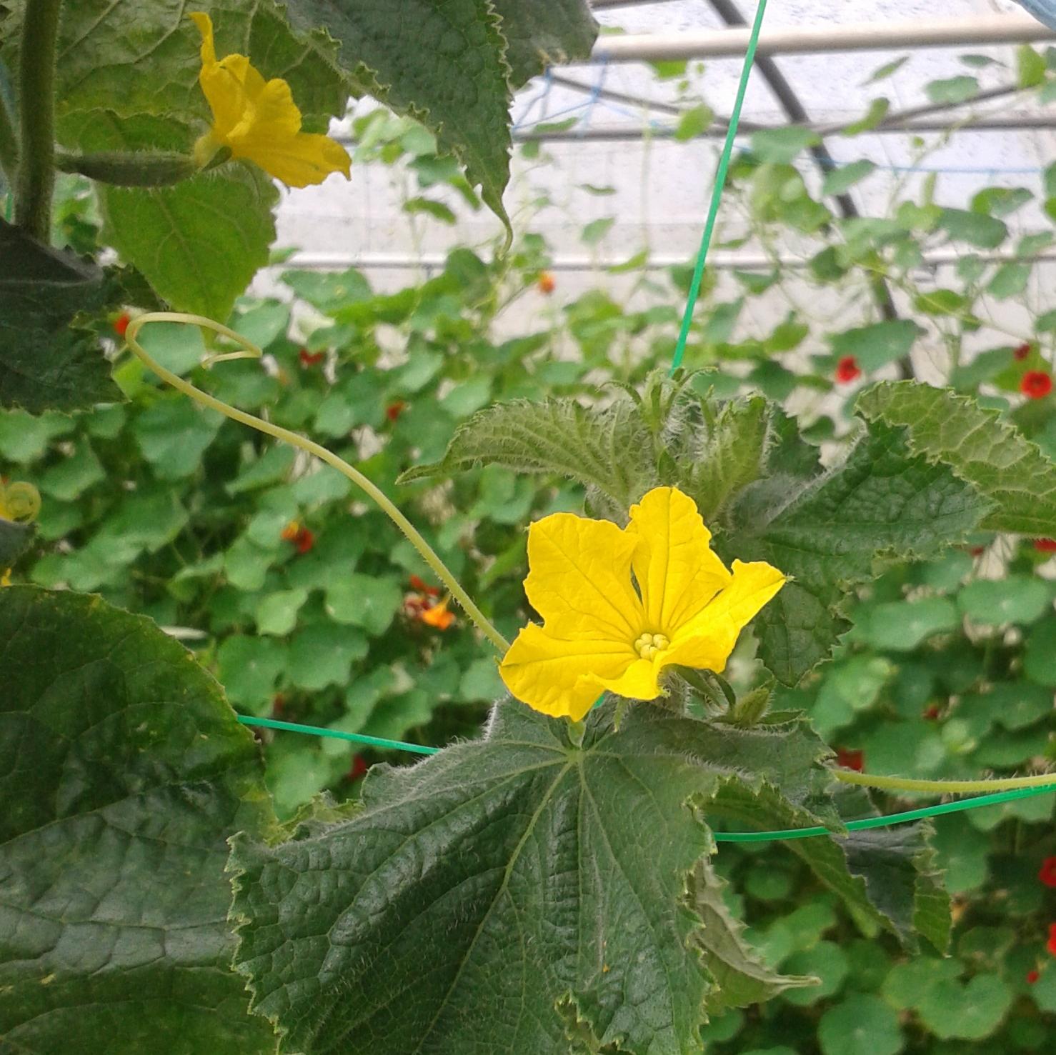 Favori Fleurs comestibles - Virginia Corn LS69
