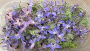 Barquette de fleurs de bourrache de couleur bleue