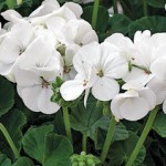 Fleurs blanches de géranium