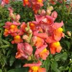 Fleur de muflier de couleur orangée