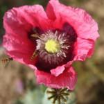 Fleur rose de pavot