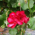 pelargonium-bicolore