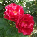 roses comestibles