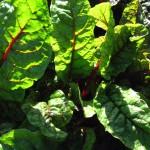 salade-red-chard