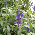 Fleurs bleues de sauge