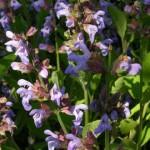 Fleurs mauves de sauge officinale