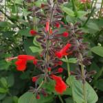 Fleurs rouges de sauge