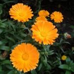 souci-orange