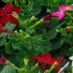 fleur-de-tabac