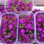 Barquettes de fleurs de géranium vivace, de couleur rose