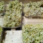 Fleurs blanches de sureau