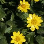 Fleurs de ficaire de couleur jaune