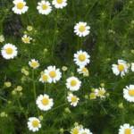 fleur-camomille