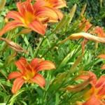 Fleurs d'hémérocalle de couleur orange