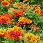 Fleurs d'oeillet d'inde de couleur jaune orangé