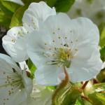 fleur-de-cerisier