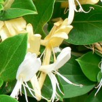 fleur-de-chevrefeuille