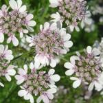 Fleurs de coriandre de couleur blanc-rosé