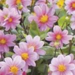 Fleurs de dahlia de couleur rose