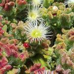 fleur-de-ficoide