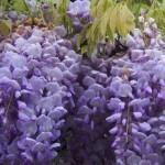 Fleurs de glycine de couleur violette