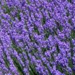 Fleurs de lavande de couleur bleu-violet
