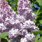 fleur-de-lilas