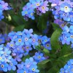 Fleurs bleues de myosotis