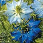 Fleurs bleues de nigelle