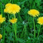 Fleurs jaunes de pissenlit