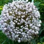 Fleur blanche de poireau