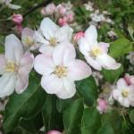 Fleur de pommier de couleur rose pâle