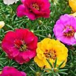 Fleurs de pourpier de couleur rose et jaune