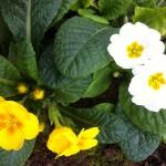 Fleurs blanches et jaunes de primevères
