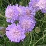 fleur-de-scabieuse