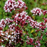 fleur-marjolaine
