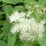fleur-reine-des-pres