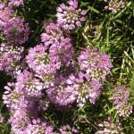 fleurs-ciboulettes