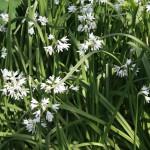 fleurs-d-ail