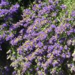 Fleurs d'hysope de couleur violette