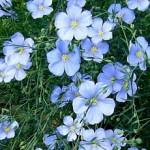 Fleurs de lin de couleur bleue